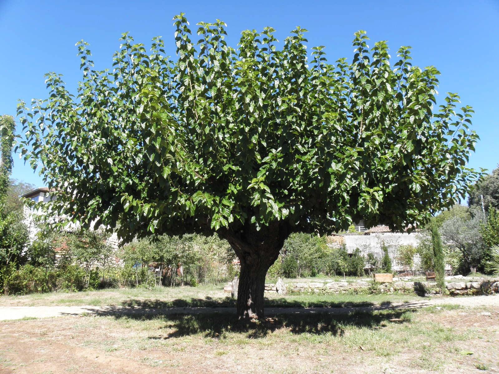 L'arbre du Magnan